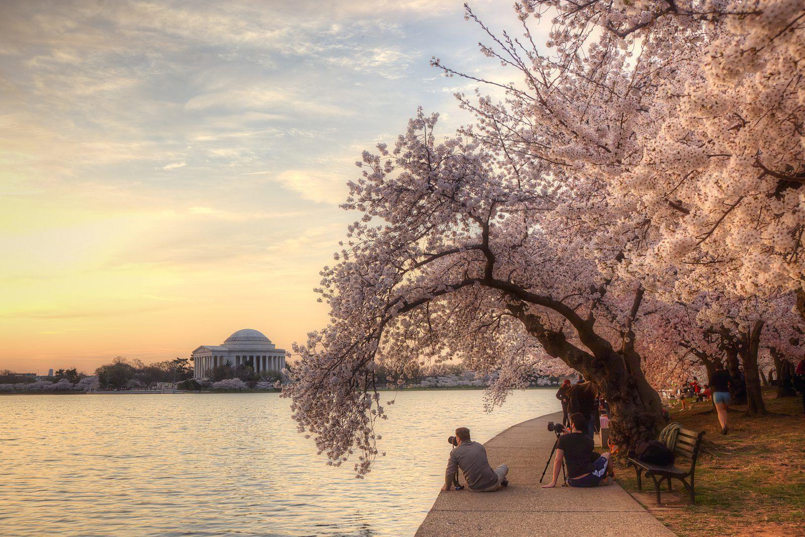 Cherry Blossoms Tidal Basin Photographers Sunrise Jefferson Memorial Washington Dc Trees Washington Dc Travel Washington Dc Monuments Washington Dc