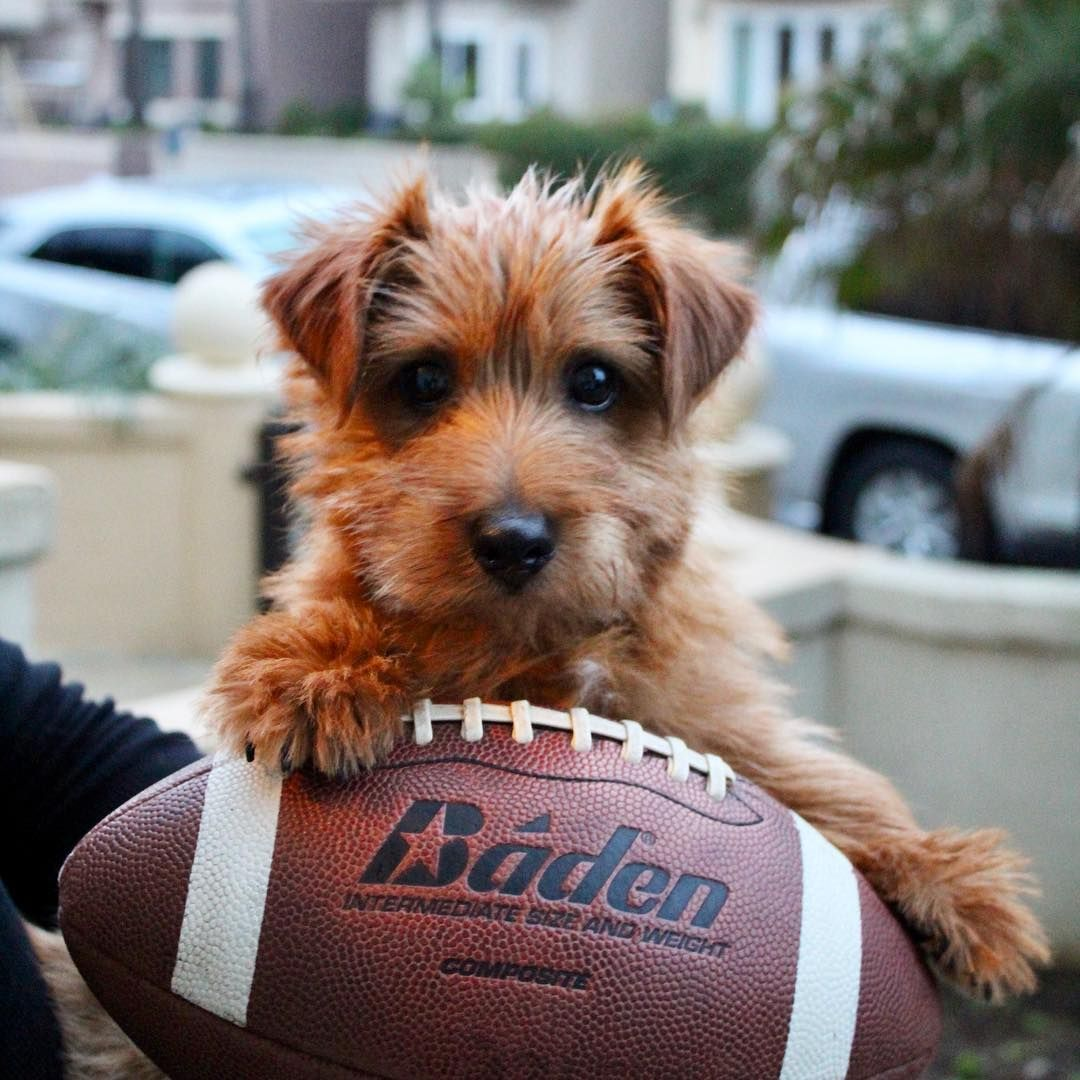 What Are The Most Popular Terrier Dog Breed Norfolk Terrier Terrier Dog Breeds Terrier Terrier Dogs