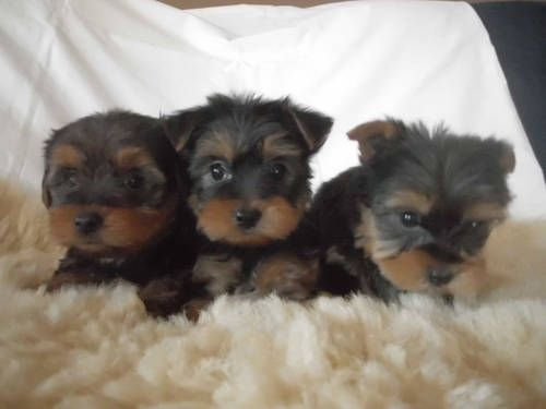 Ckc Very Cute Male Yorkshire Terrier Puppies Yorkshire Terrier Puppies Dog Breeds Yorkshire Terrier