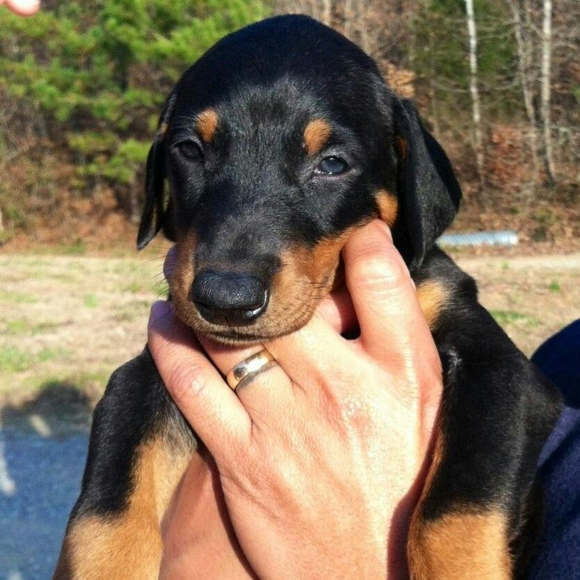 Doberman Puppy Hopefully I Ll Have A Puppy Brother For Blake Soon