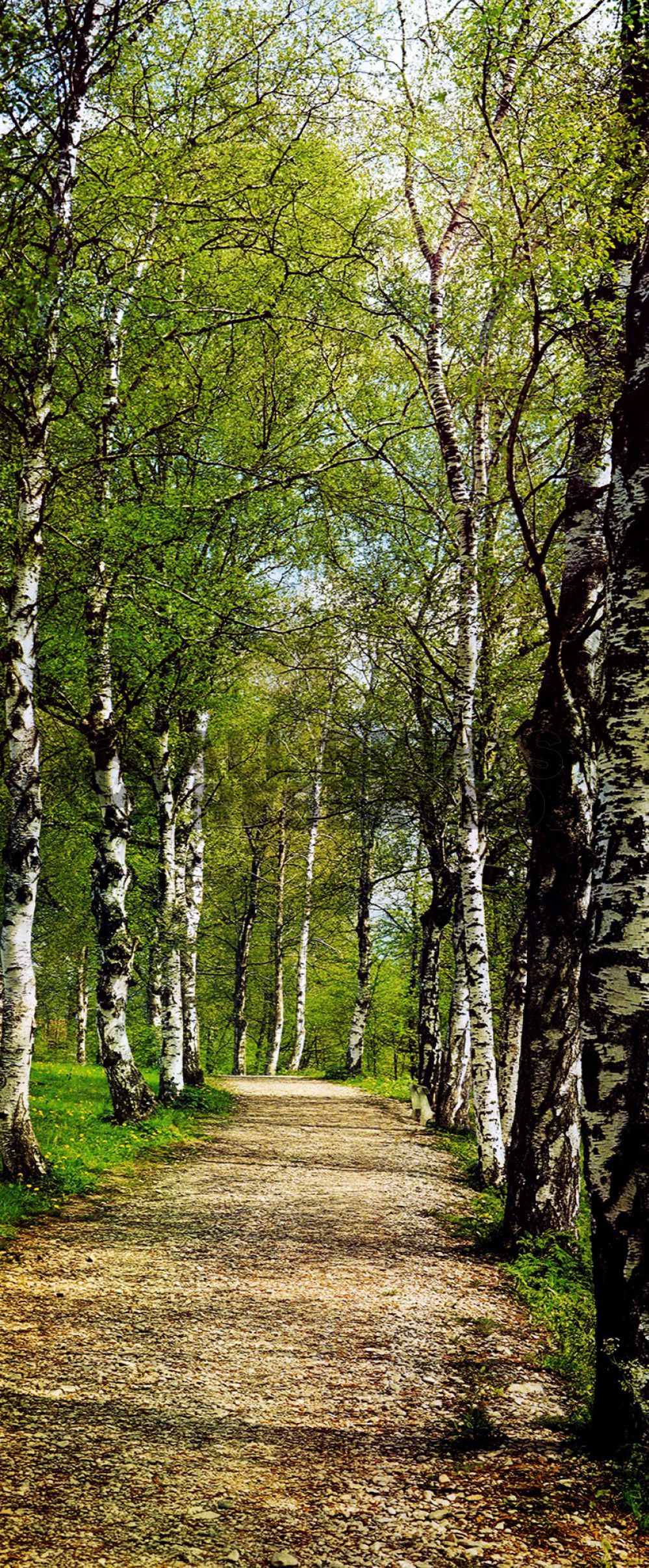 path in the birch - photo #33
