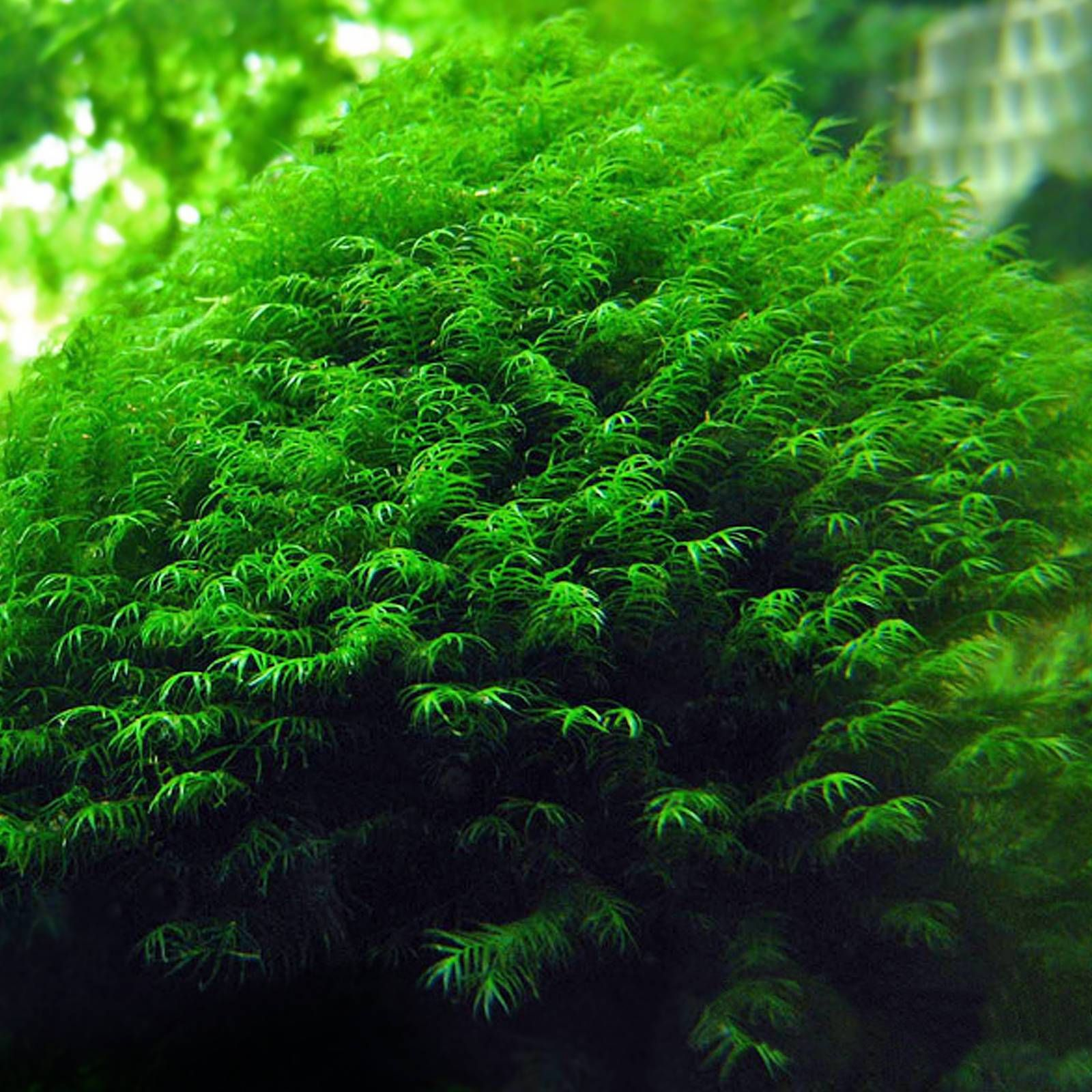 Moss Phoenix: features of plants for aquaspace 21