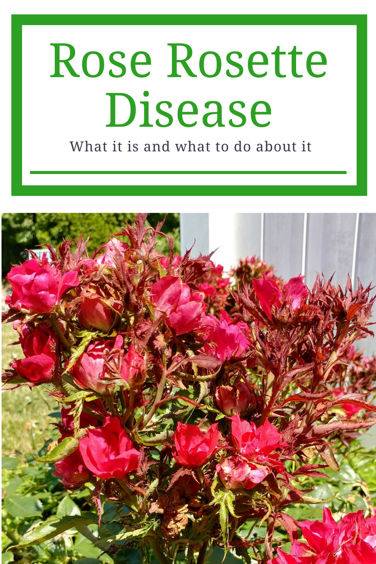 Rose Rosette Disease Coming to a Knockout Rose Near You