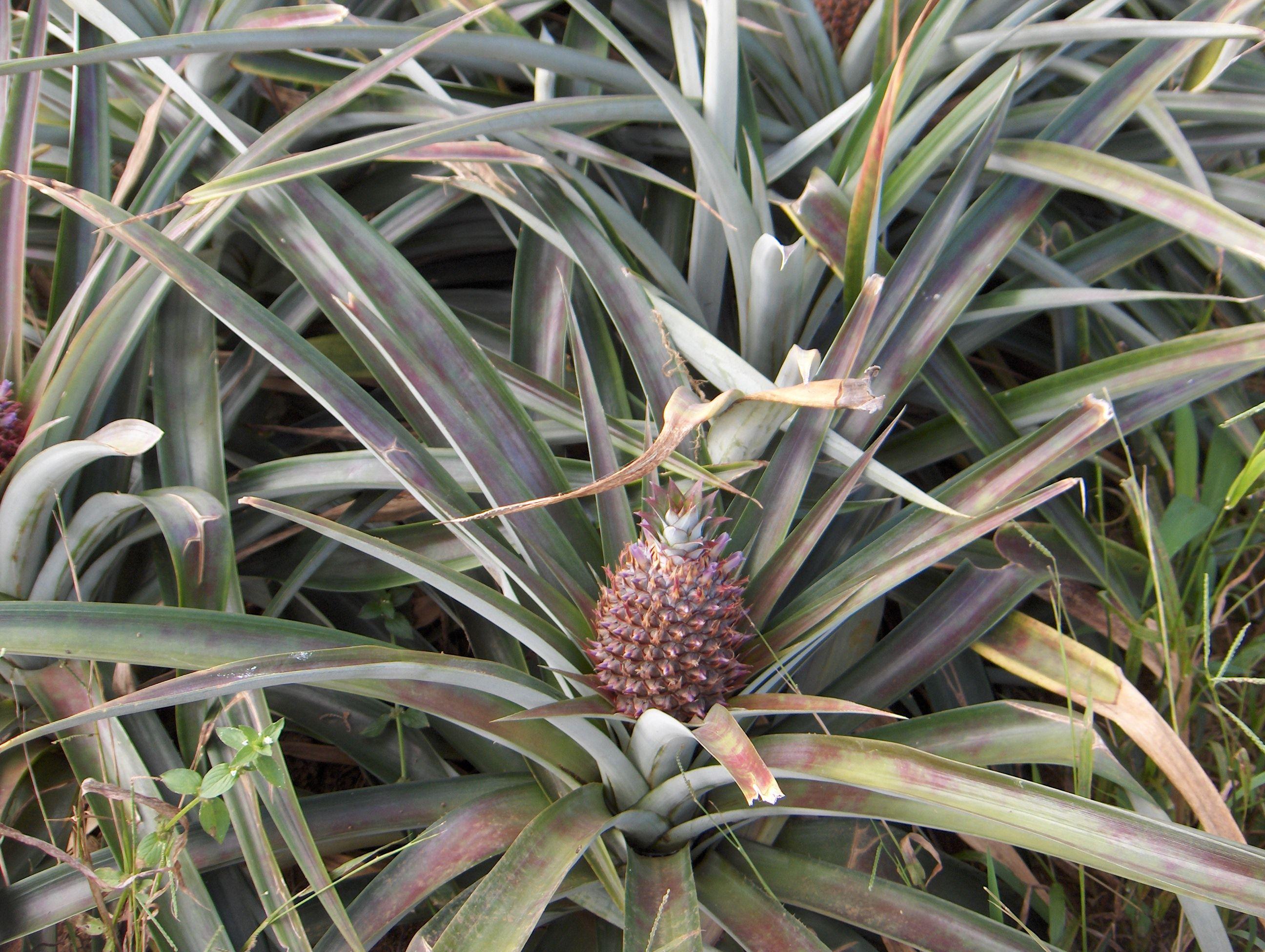 Guadeloupe - Ananas