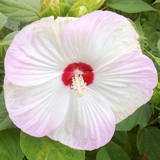Hardy Hibiscus Unlike Their Tropical Cousins Hardy Hibiscus Will