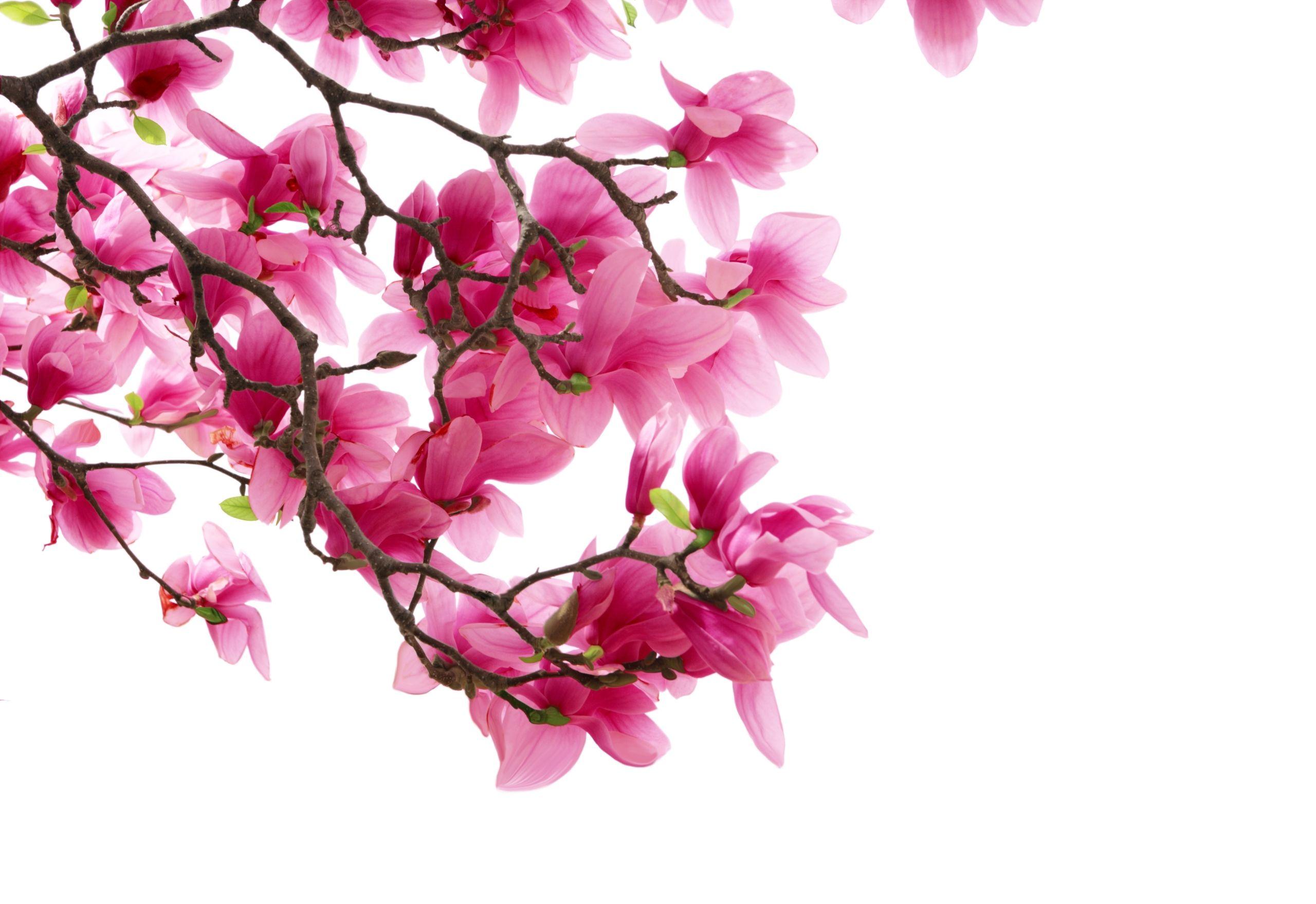 fond ecran hd fleur arbuste rose wallpaper pink flower desktop hr