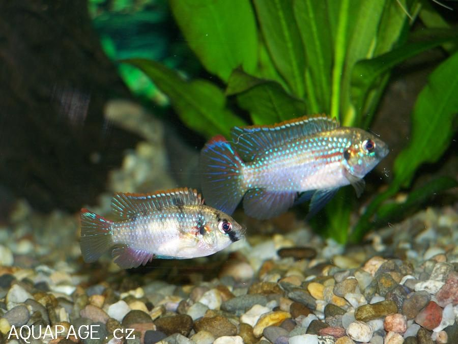 African Butterfly Fish African Butterfly Cichlid About Fish In Catalogue Profile Created By Butterfly Fish Fish Fish Pet