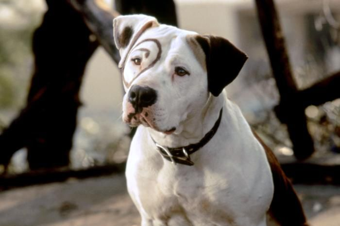 Petey The Pitt Bull From Little Rascals Famous Dogs