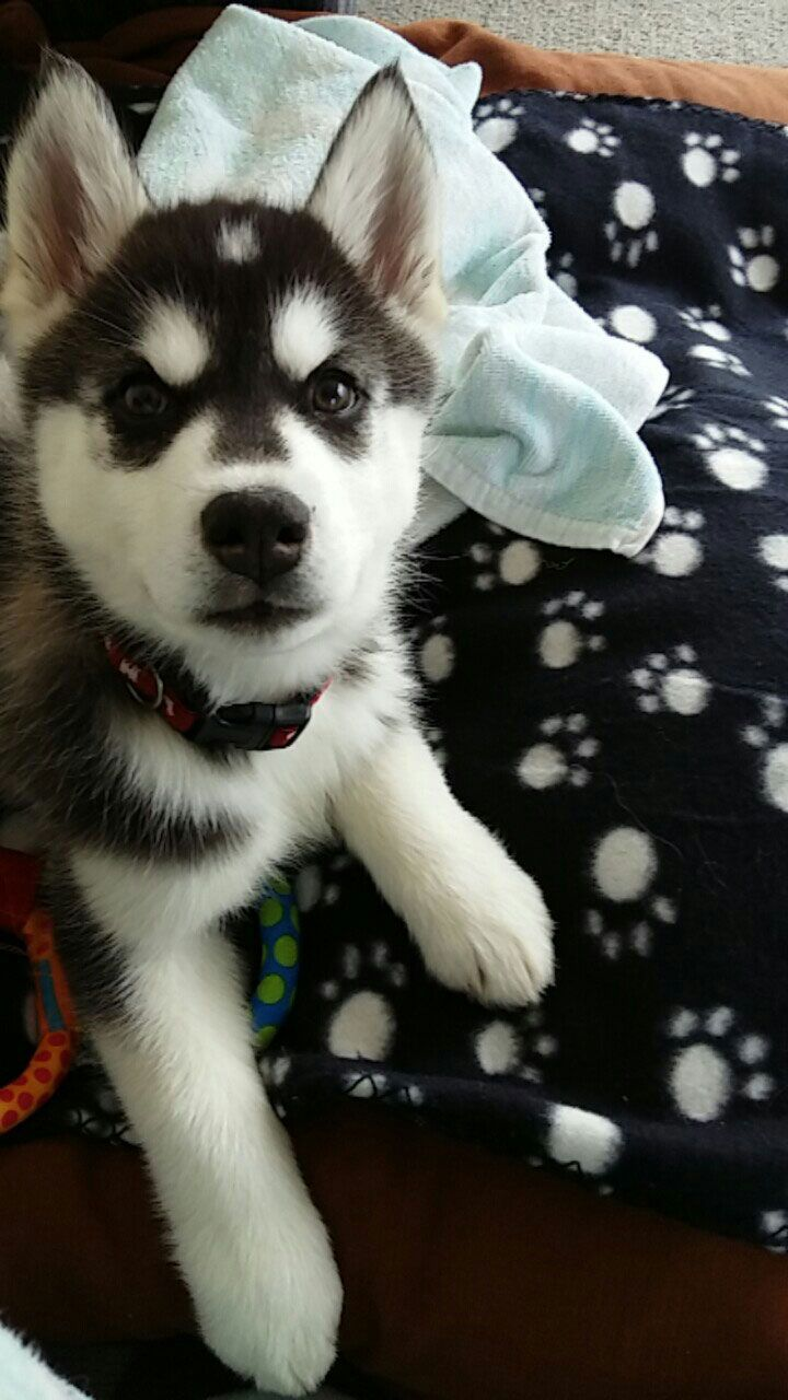 Meet Kira A Cute Alaskan Malamute And Siberian Husky Mix Puppy