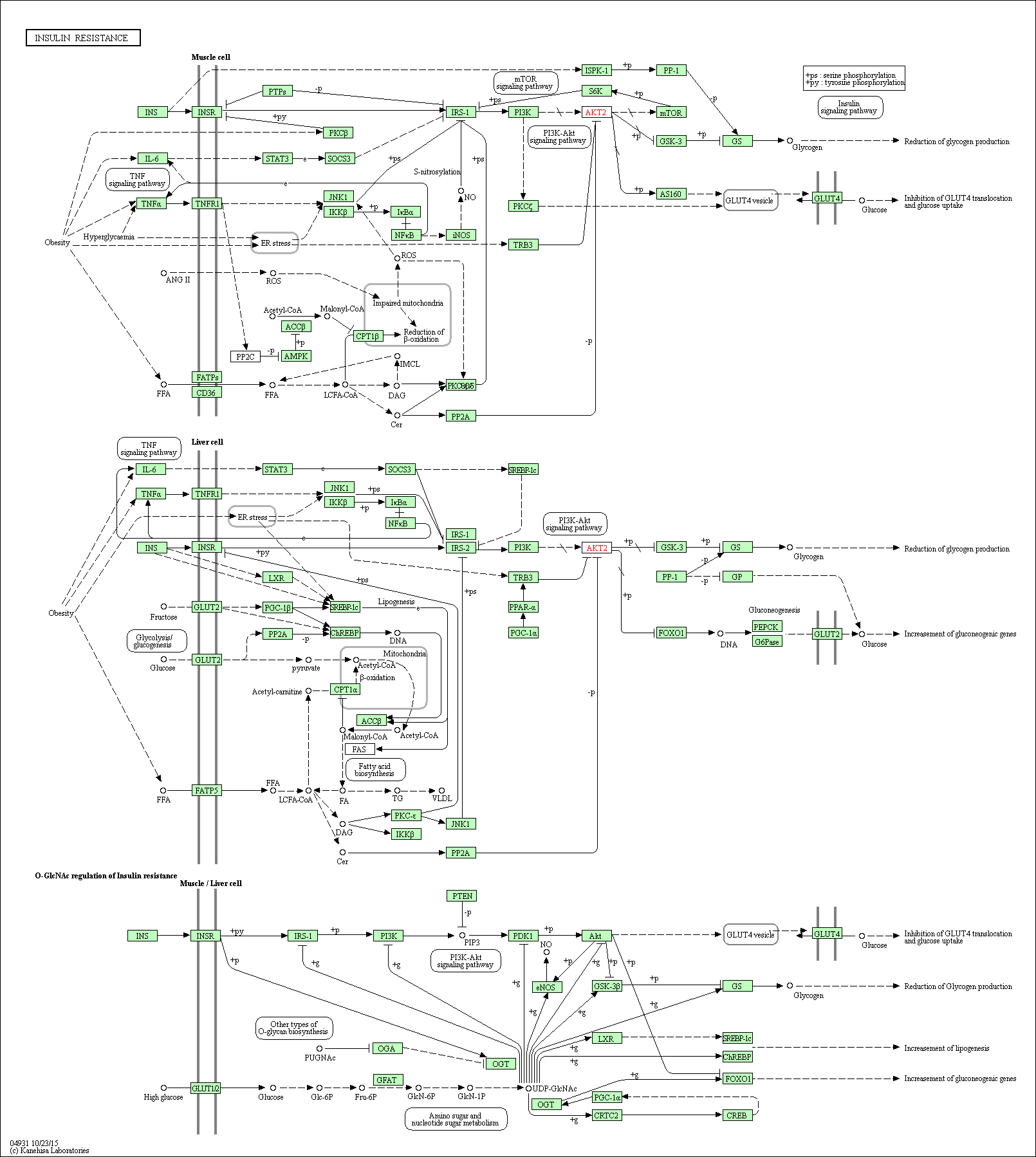 Kegg Pathway Insulin Resistance