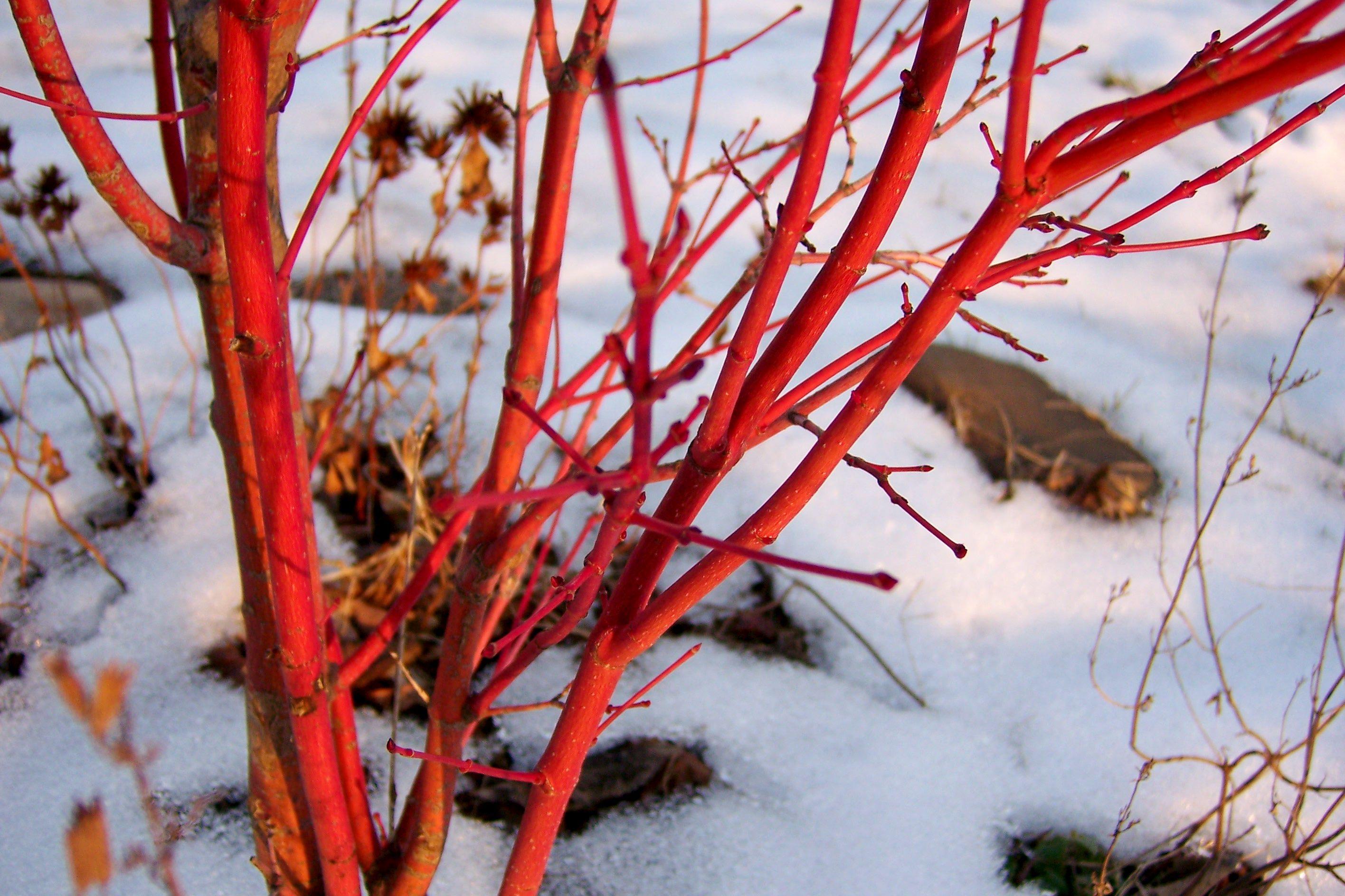 Coral Bark Maple Acer Palmatum Sango Kaku Winter Garden