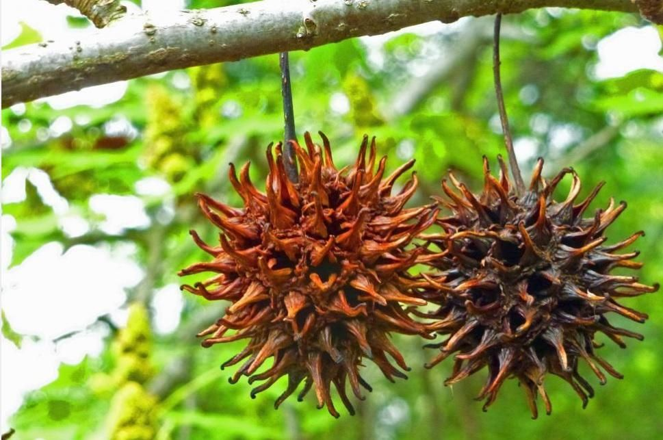 Sweet Gum Tree Sweet Gum Herbs For Health Medicinal Herbs