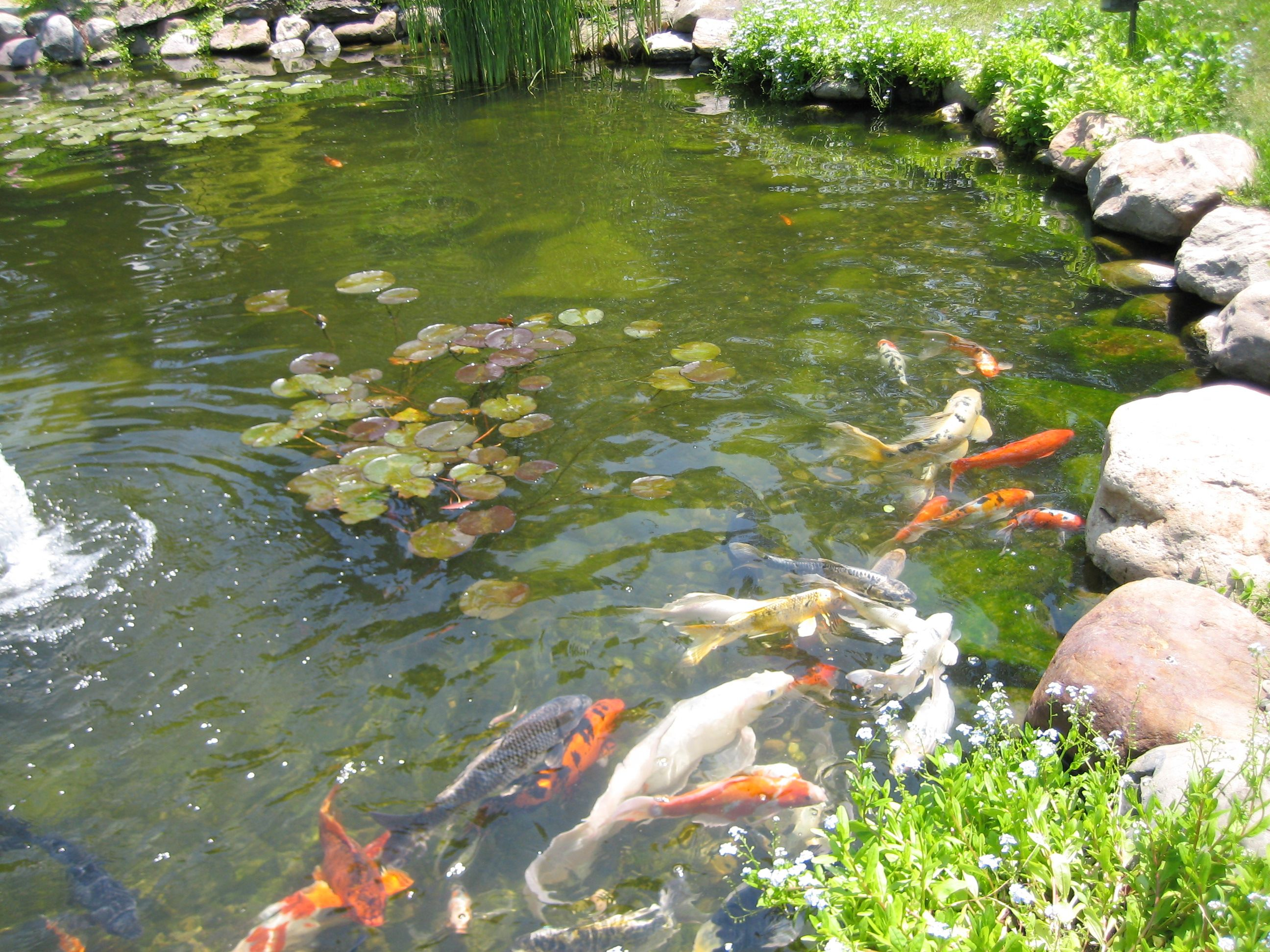 Landscaping waterfalls and fish ponds koi fish for Tiny koi fish