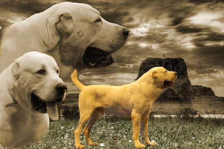 Park Art My WordPress Blog_Kangal Puppies For Sale Uk