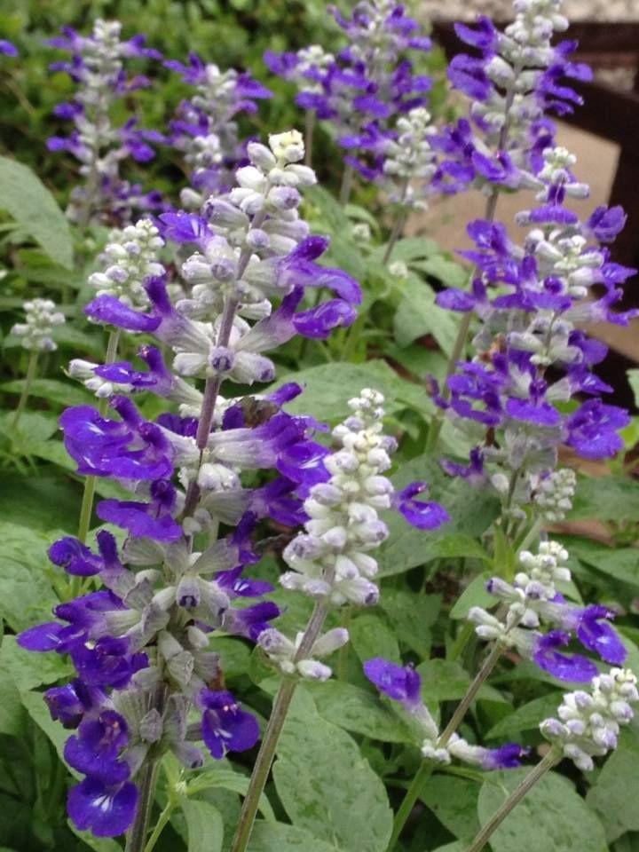 Salvia sallyfun bicolor beauty perennials for the midwest pinterest salvia perennials for Earl may nursery garden center