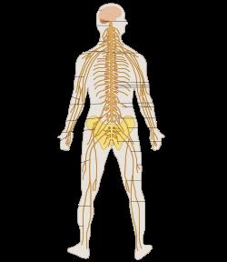 Sistema Nervioso Wikipedia La Enciclopedia Libre Sistema Nervioso Periferico Sistema Nervioso Sistema Nervioso Humano