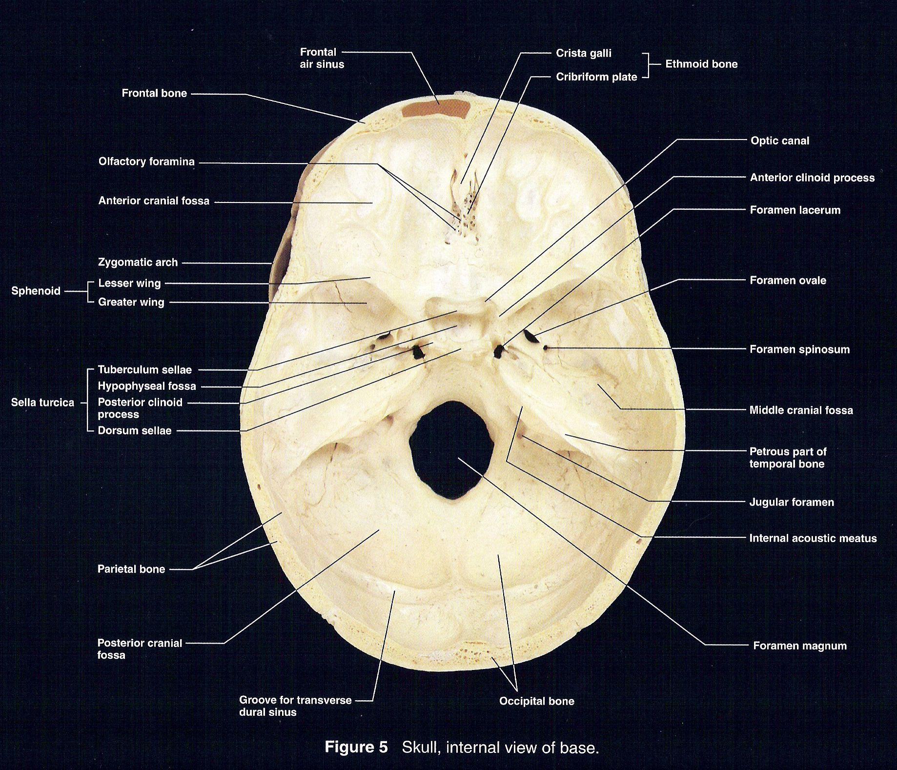 View Of Floor Of Cranium Cranium Flooring Sinusitis