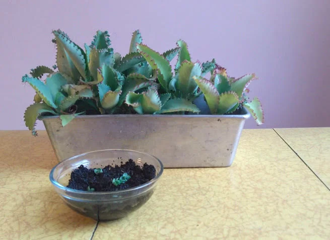 Starting Succulents In Coffee Grounds How To Water Succulents Succulents Types Of Succulents
