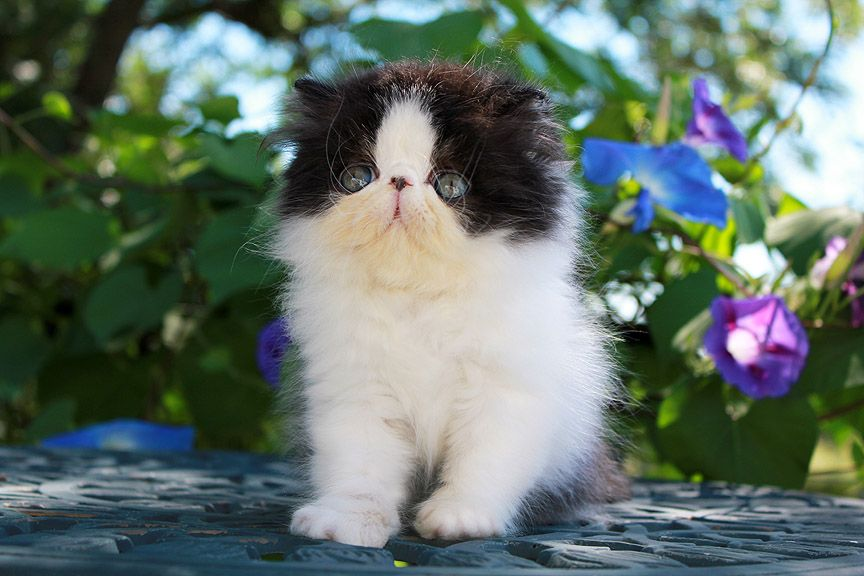 Alfenloch After Eight Black White Male Persian Kitten Persian