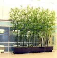 Resultado de imagem para tipos de bambu ornamental