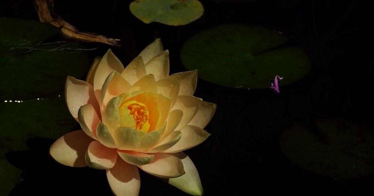 Gambar Bunga Teratai Dan Mawar Bunga Teratai Atau Bunga Yang Hitam Dan Juga Biru Gambar Mekar Menanam Malam Daun Bu Bunga Teratai Gambar Bunga Teratai Air