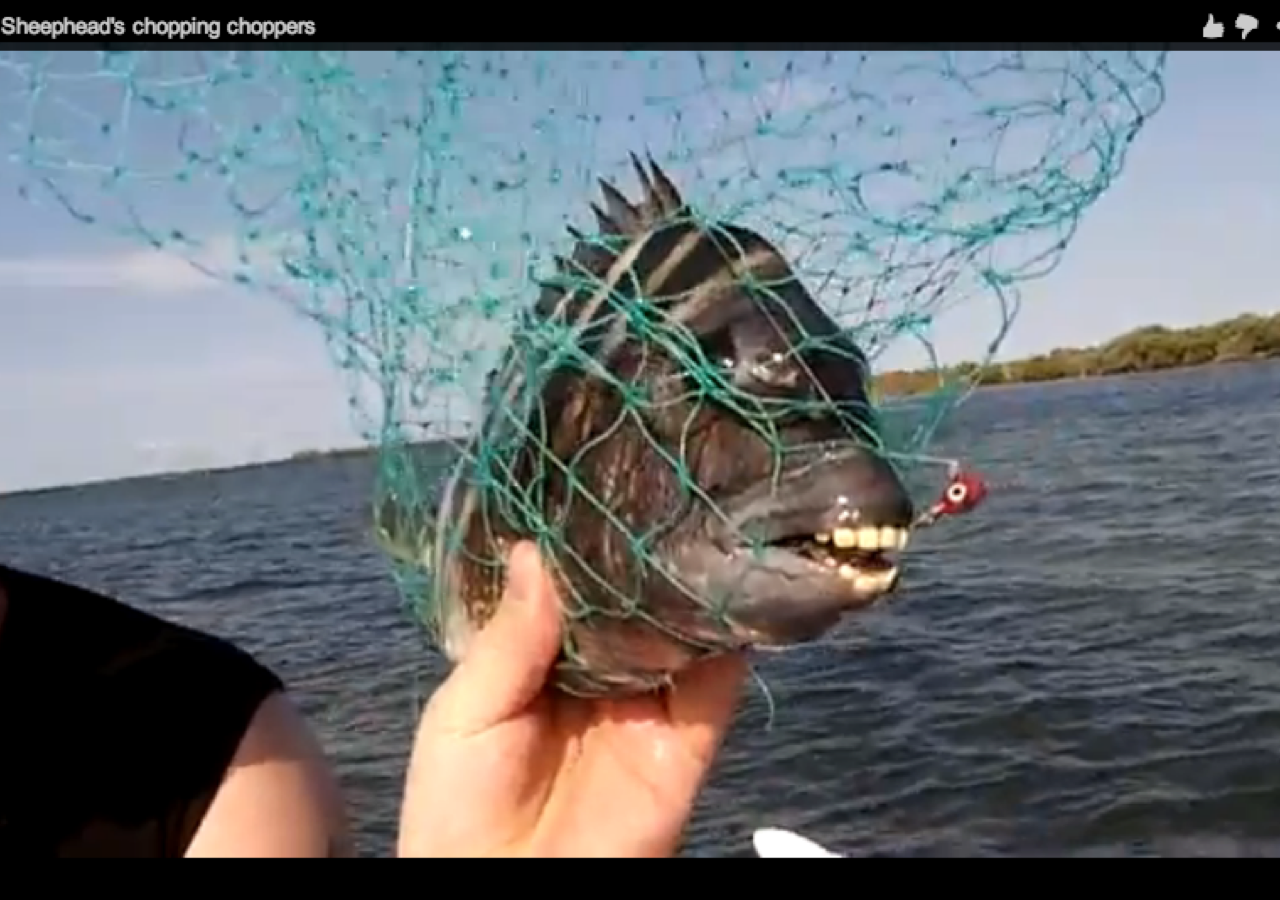 This Sheepshead Fish With Human Teeth Will Haunt Your Dreams Human Teeth Fish Dreaming Of You