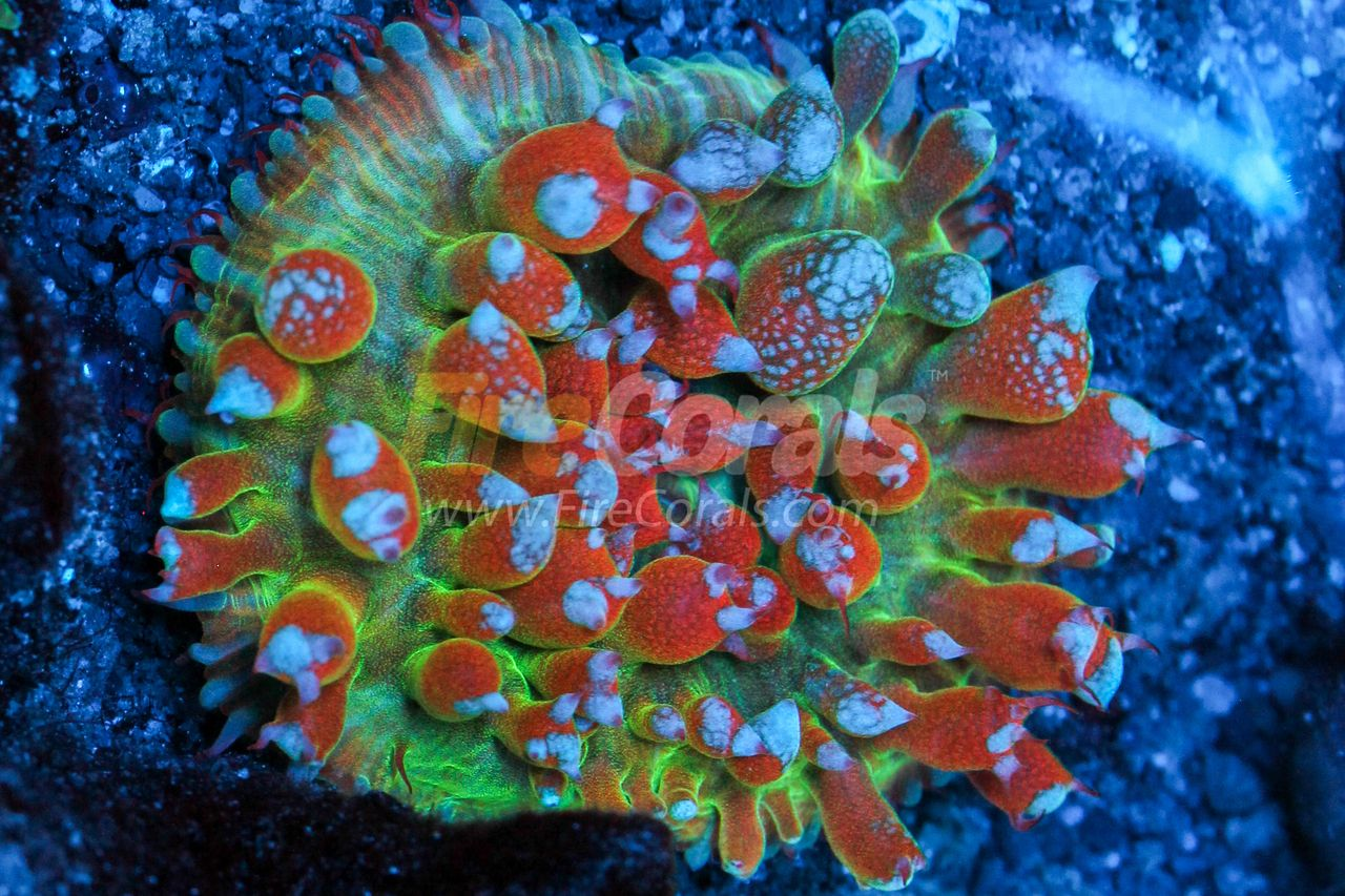 Fire Corals Flaming Rainbow St Thomas Mushroom Coral Stuffed Mushrooms Rainbow