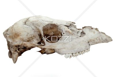 skull of an animal - Skull of an animal in a side view image
