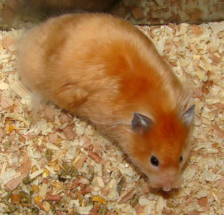 Cream Satin LH, Female Hamster life, Cute hamsters, Pet