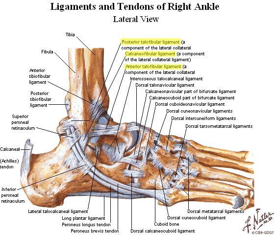 Compendium/anatomie | voet | Pinterest