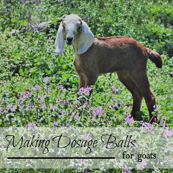 How To Make Dosage Balls For Goats
