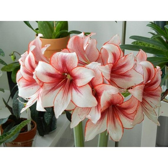 Amaryllis Bulb Showmaster A Perfect Bloom For By Theseedhouse