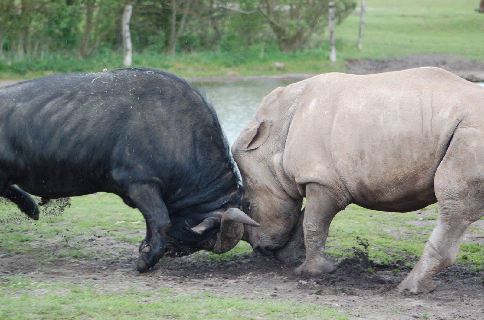 White rhino vs Cape Buffalo | Battle of the Big 5 | Animal
