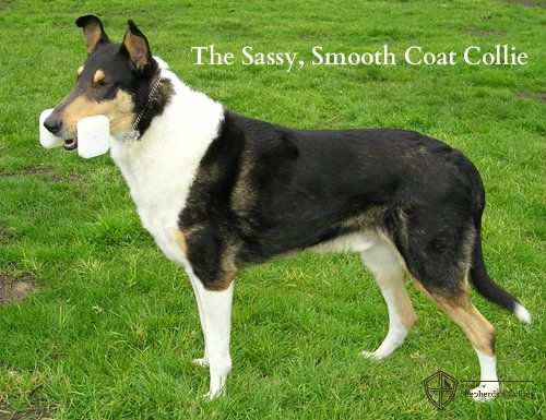 The Lesser Known Collie With Sass Smooth Collie Dog Breeds Dog