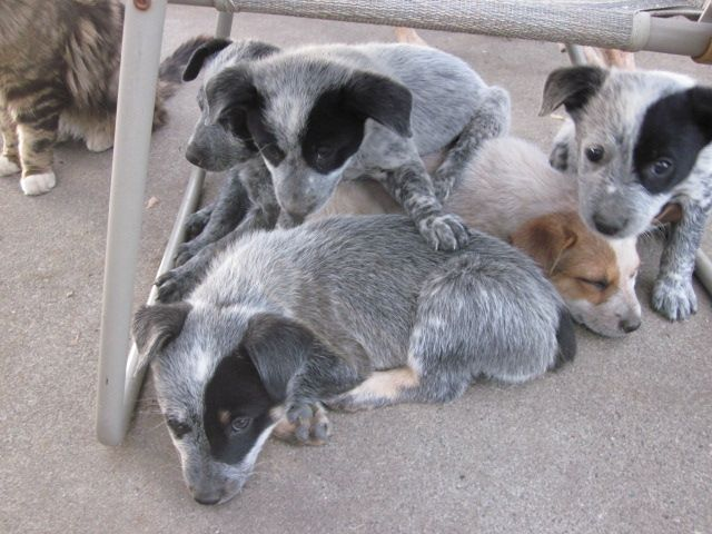 Planning On Great Companionship And Fun With My Blue Heeler Pups