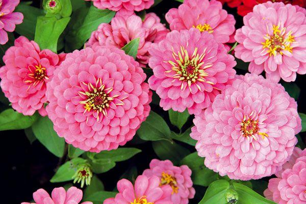 2 Cínia (Zinnia elegans) Bohato rozkonárená a husto olistená letnička, ktorá kvitne počas celého leta.  Vysádzame: predpestované priesady v máji  Vysievame: v apríli do pareniska, prípadne na voľný záhon Potrebuje: slnko, priepustnú pôdu, dostatok vlahy Využitie: v pozadí alebo strede zmiešaných kvetinových záhonov