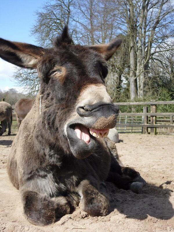 Sleepy donkey at the Donkey Sanctuary