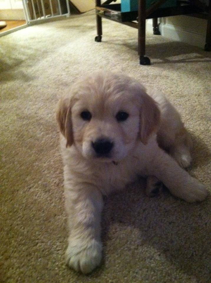 7 week old golden retriever puppy