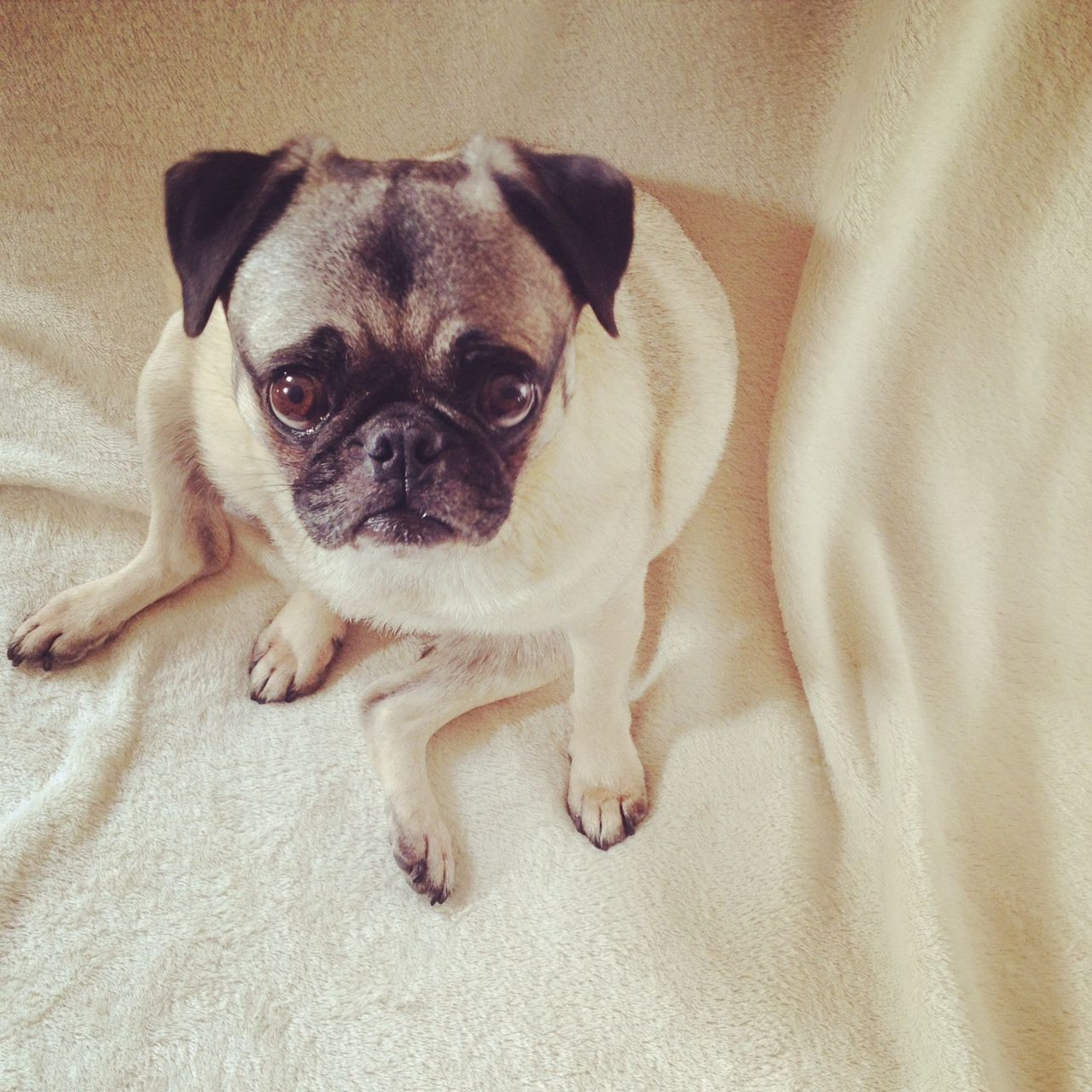 Pug Pose Pug Rescue Animal Rescue