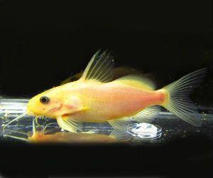 Synodontis Lace Catfish