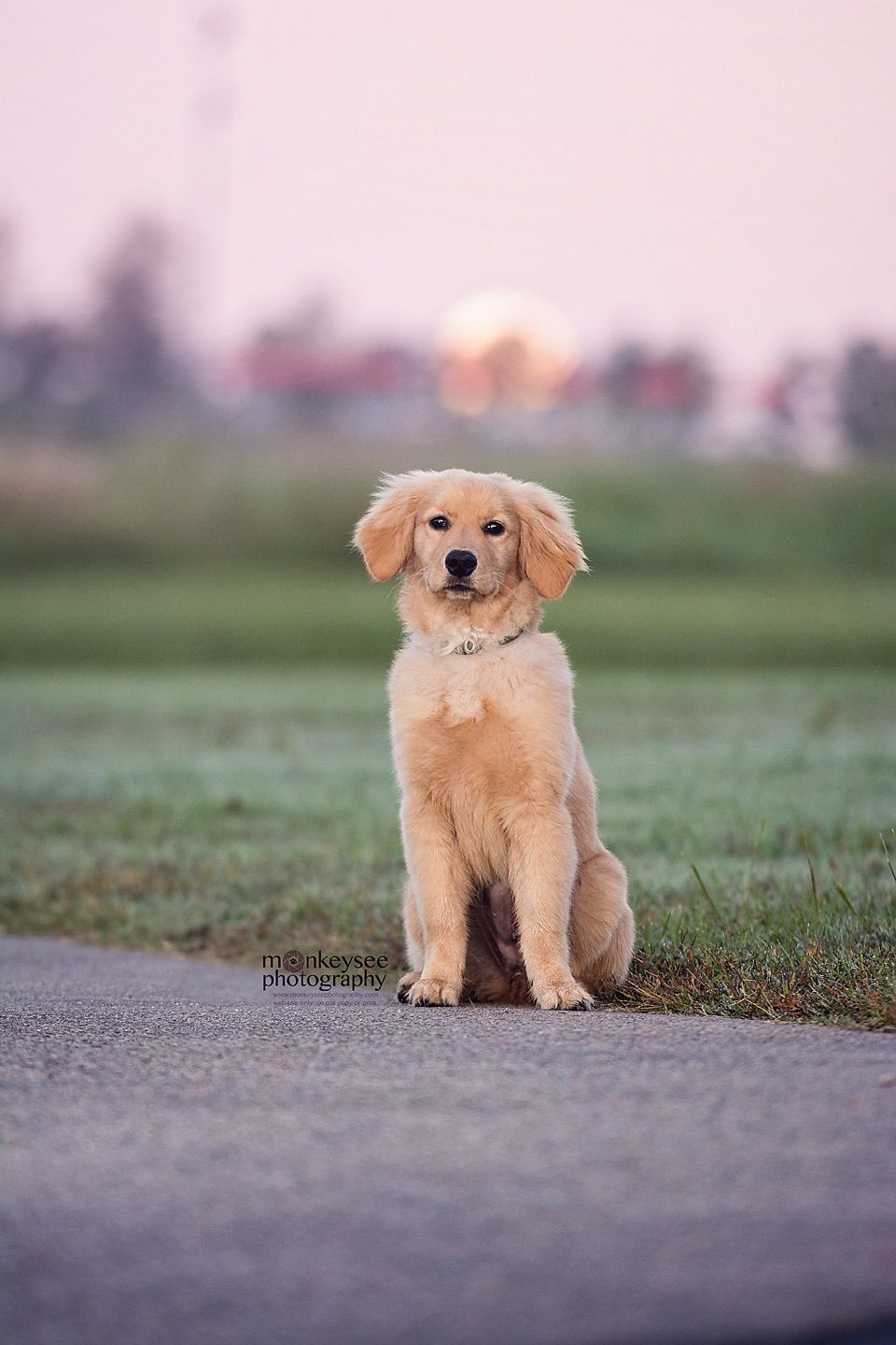 Golden Retriever Puppy Harvest Moon At A Park In Raleigh Nc