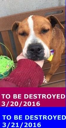 SAFE 3-21-2016 by Imagine Pet Rescue --- SUPER URGENT Brooklyn enter FALCON – A1067740  **NEEDS FOLLOW UP MEDICAL CARE**  MALE, BROWN / WHITE, AM PIT BULL TER MIX, 8 yrs STRAY – STRAY WAIT, NO HOLD Reason STRAY Intake condition UNSPECIFIE Intake Date 03/16/2016 http://nycdogs.urgentpodr.org/falcon-a1067740/