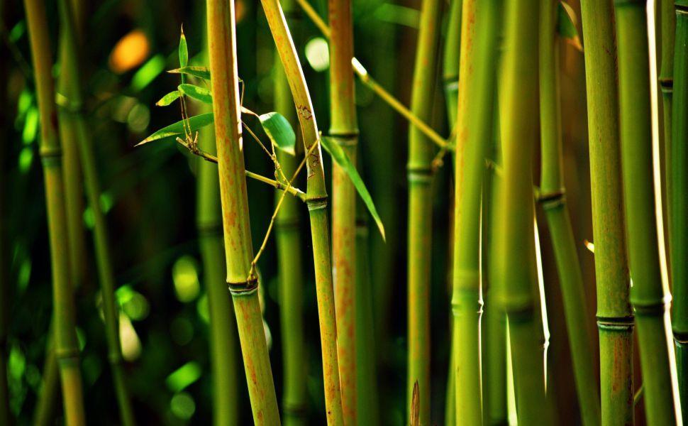 bamboo tree hd wallpaper