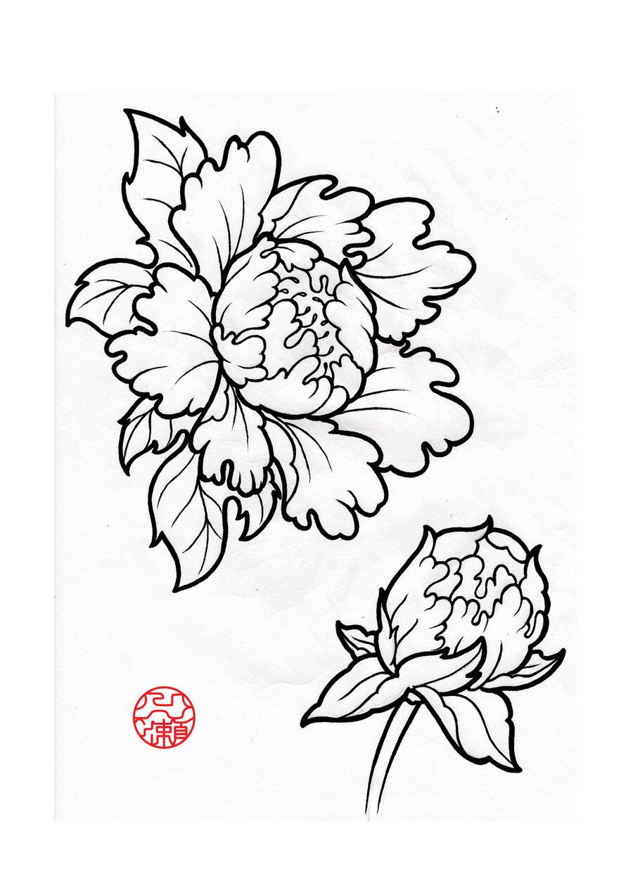 Open Closed Peony Sketch Drawing Flowers Leaves Peonies