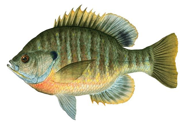 Fly Fishing Lure Patent Art Print Vintage Bluegill Fish Cabin Decor Gifts PAT398