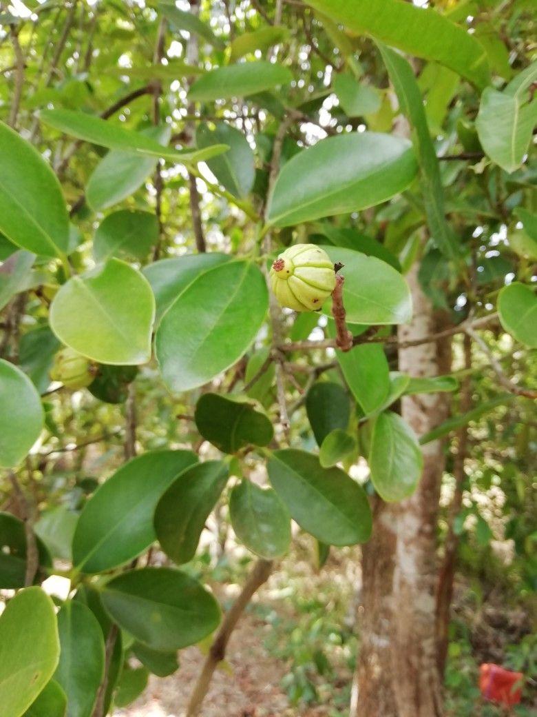 Garcinia Cambogia Kudam Puli Plant Leaves Garcinia Cambogia