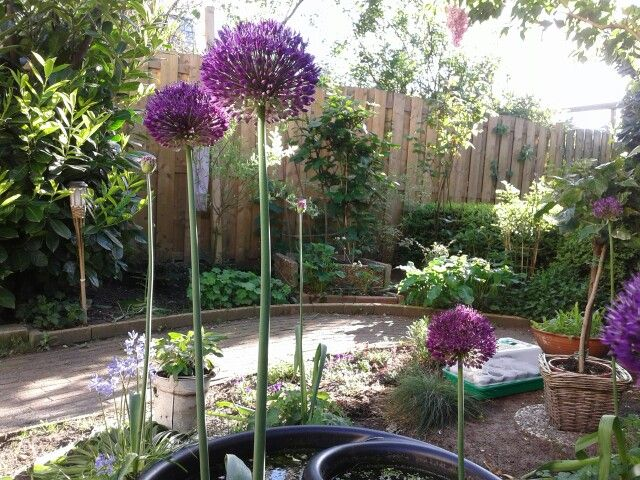 These Alliums suddenly appeared 3 years ago, the first year there were 2, second year there were 5 of them, but this year I guess there was a babyboom, cause now I have 15 happy dots. #alliums #plants #garden # gardening