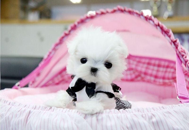 Baby veronica precious teacup size fabulous ice white