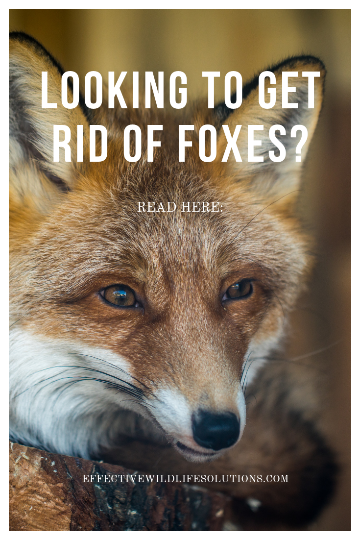 Have You Recently Discovered A Fox Den In Your Yard While Foxes Can Be Entertaining To Watch Some People Simply Can T Have Foxes Living In T Wildlife Fox Rid