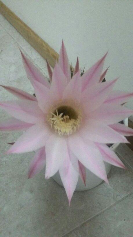 Echinopsis (flor rosa) Su floración es nocturna a partir de las 22hs y dura hasta el amaneces.  Su flor tiene un aroma dulzón muy particular